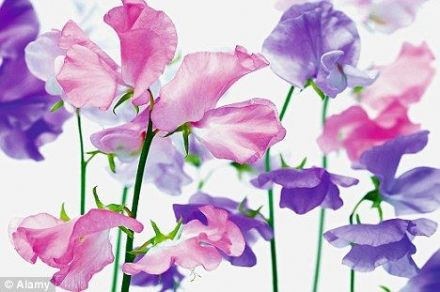 Candle Fragrance Oil - Sweet Pea